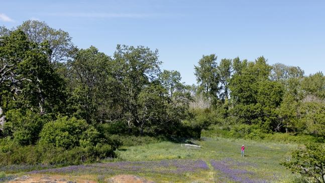 Garry Oaks in Uplands Park